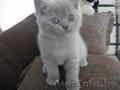 Плюшевая британская небесно-голубая кошечка