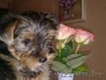 Йоркширского терьера щенок,  девочка. 3 мес,  стандарт,  привита