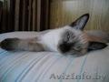 Тайский котенок (скиф)