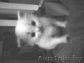 Подарю  белого пушистого котенка (3 месяца)