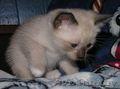 Продам сиамского котенка 2 месяцев