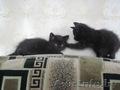 Подарим очаровательных чёрных бомбейских котят