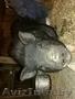 Молодая вьетнамская свинка ищет хозяина