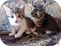 За-мур-чательные котята в дар! - Изображение #2, Объявление #1309874