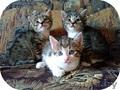 За-мур-чательные котята в дар! - Изображение #4, Объявление #1309874
