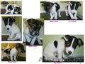 щенки от породистых собак - Изображение #2, Объявление #1336385