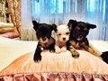 Продам щенков китайской хохлатой - Изображение #7, Объявление #1355028