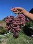 Черенки и саженцы винограда. Более 40 сортов и гибридных форм