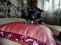 Продам щенков китайской хохлатой - Изображение #5, Объявление #1355028