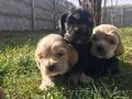 Замечательные щенки американского кокер спаниеля