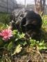 Замечательные щенки американского кокер спаниеля - Изображение #2, Объявление #1404267