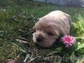 Замечательные щенки американского кокер спаниеля - Изображение #3, Объявление #1404267