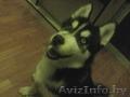 Северная собака хаски., Объявление #1507834